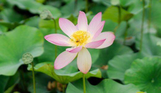 提供情報あり!日南市下方で咲く「蓮(はす)の花」を探せ!!